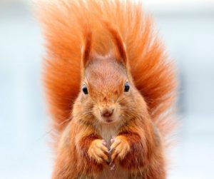 Image of a red squirrel looking longingly at you. it probably wants a nut.