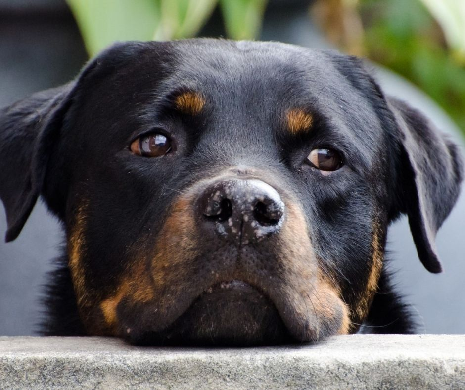 Image of a rottweiler puppy looking extra sad. it probably wants you to read some books about puppies.